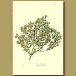Matai Black Pine - Podocarpus spicata