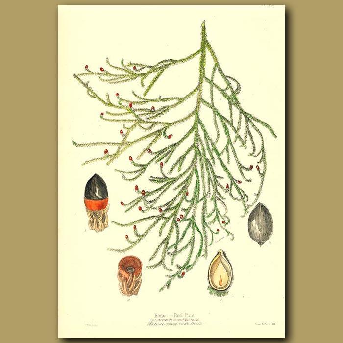 Antique print. Rimu Red Pine - Dacrydium cupressinum