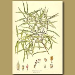 Narrow leaved Maire - Olea montana