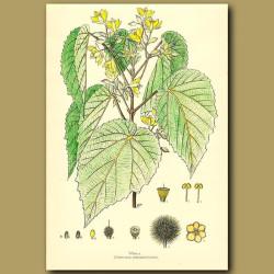 Whau - Entelea arborescens
