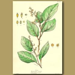 Puka - Griselinia lucida