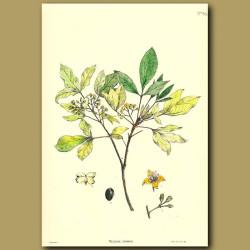 Wharangi - Melicope ternata