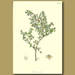 Rohutu -  Myrtus obcordata