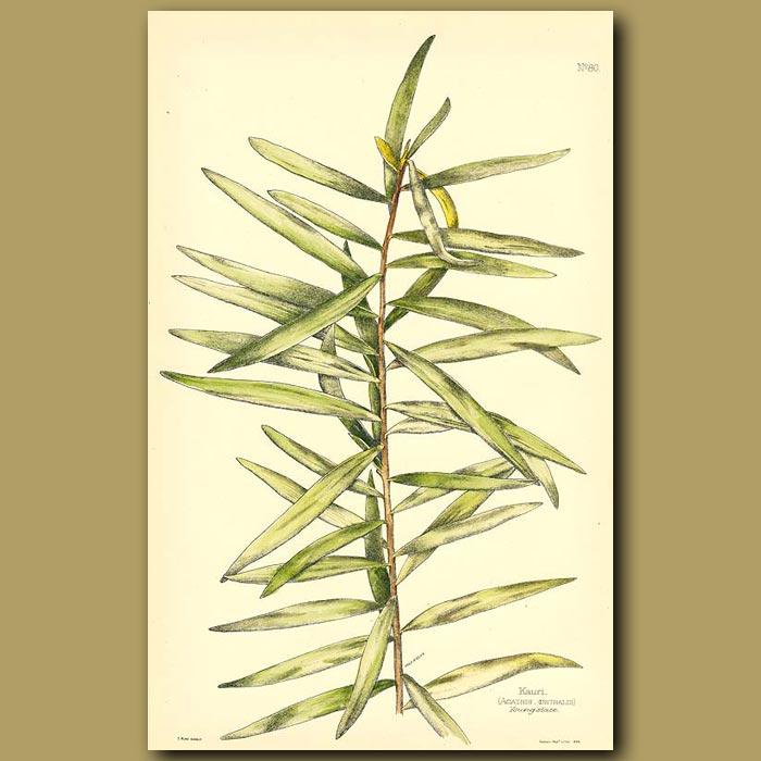 Antique print. Kauri - Agathis australis