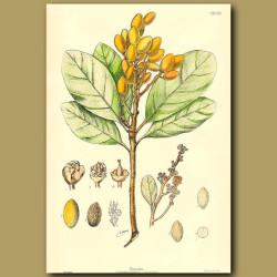 Karaka - Corynocarpus laevigata