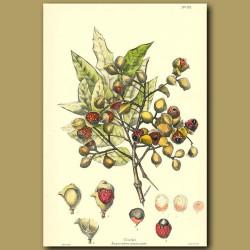 Titoki  - Alectryon excelsum