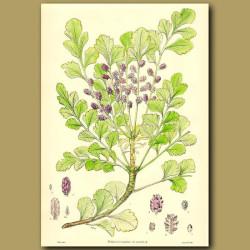 Toatoa  - Phyllocladus glauca