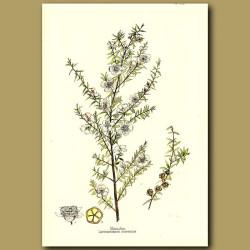 Manuka - Leptospermum ericoides