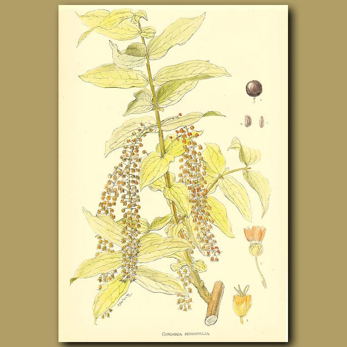 Antique print. Tutu - Coriaria ruscifolia