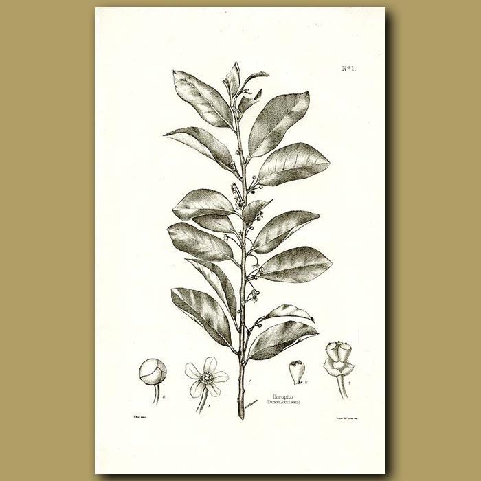 Antique print. Horopito - Drimys axillaris