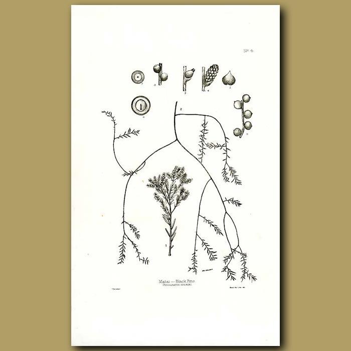 Antique print. Matai - Black Pine - Podocarpus spicata