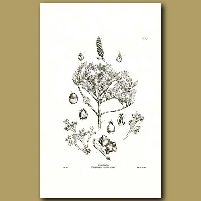 Antique print. Celery Pine Tanekaha - Phyllocladus trichomanoides