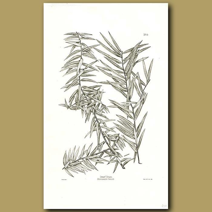 Antique print. Dwarf Totara - Podocarpus acutifolius