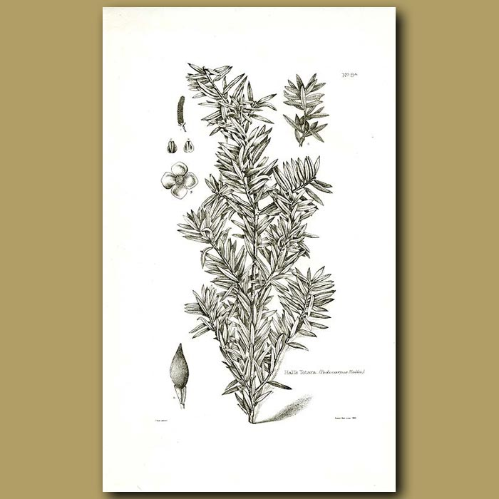 Antique print. Hall's Totora - Podocarpus hallii