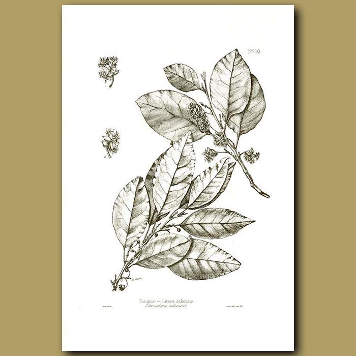 Antique print. Tangiao - Litsea calicaris