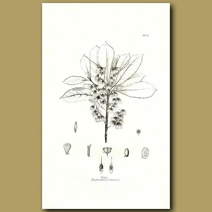 Antique print. Hinau - Elaeocarpus dentatus