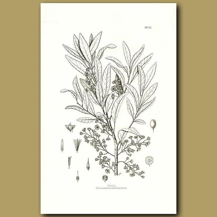 Antique print. Pokaka - Elaeocarpus hookerianus