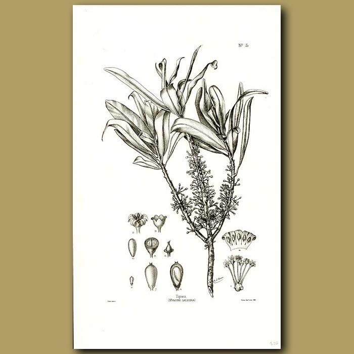 Antique print. Toro - Myrsine salicina