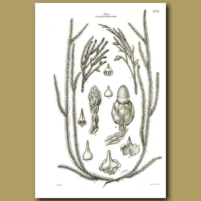 Antique print. Rimu - Brown Pine - Dacrydium cupressinum