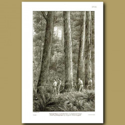 Felling Matai and Red Pine In Seaward Forest in 1886 -
