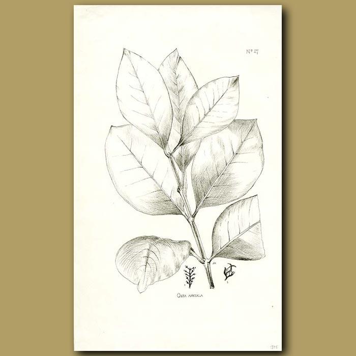 Antique print. Olea Apetala - Olea apetala
