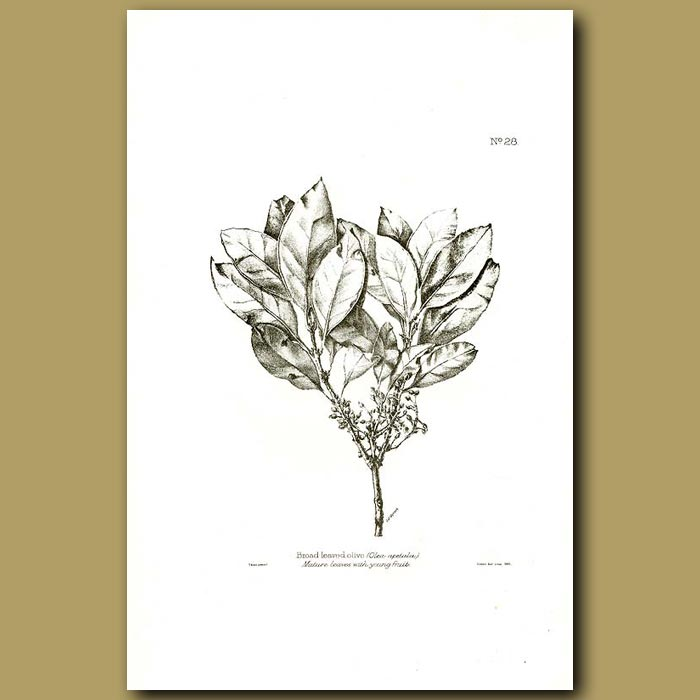 Antique print. Broad Leaved Olive with young fruit - Olea apetala