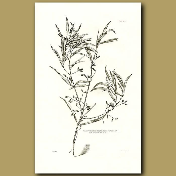 Antique print. Narrow Leaved Maire with immature fruit - Olea montana