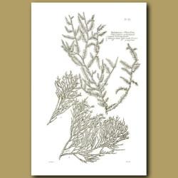 Kahikitea - White Pine - Podocarpus dacrydioides