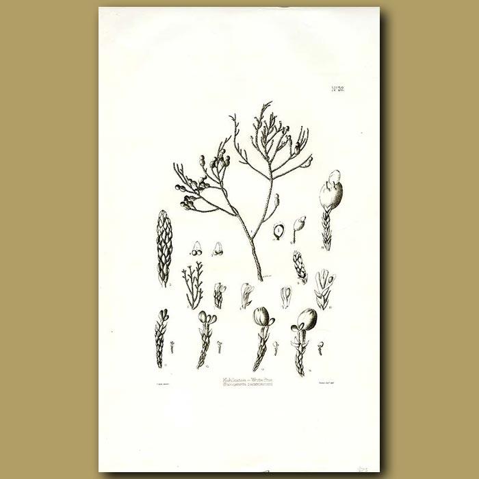 Antique print. Kahikitea - White Pine - Podocarpus dacrydioides