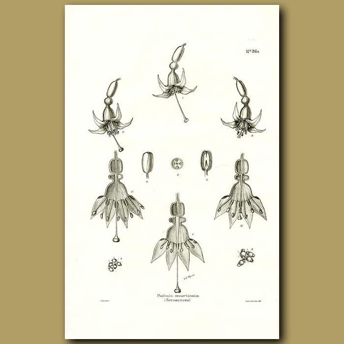 Antique print. Tree Fuchsia - Fuchsia excorticata