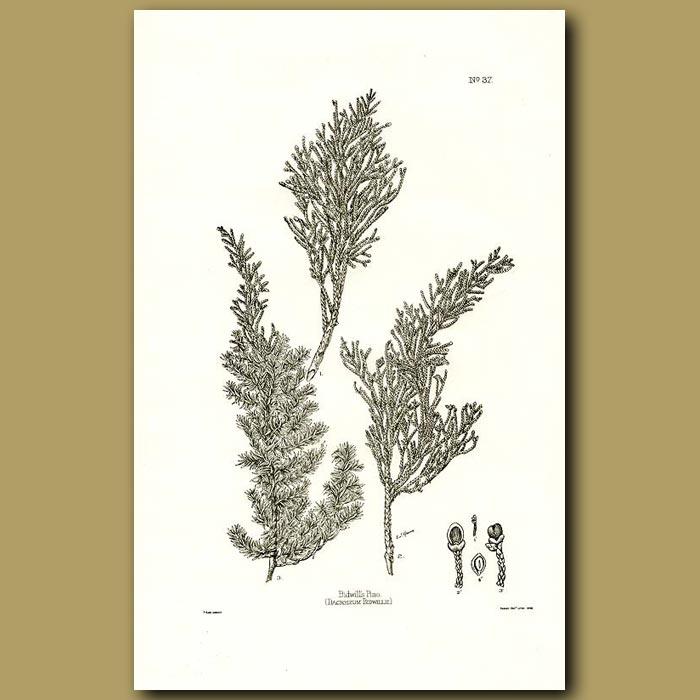 Antique print. Bidwill's Pine - Dacrydium bidwillii