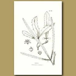 Horoeka Lancewood - Pseudopanax crassifolim