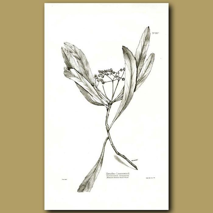 Antique print. Lancewood - Pseudopanax crassifolim