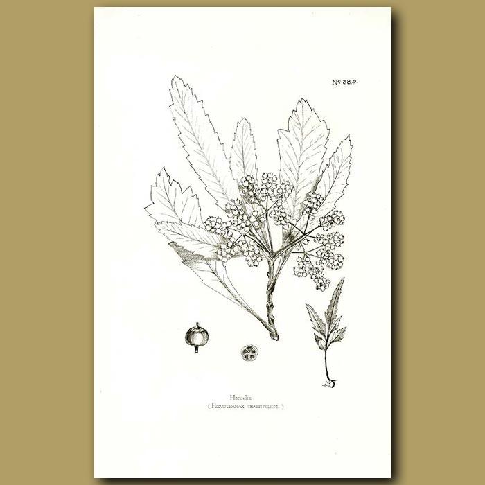 Antique print. Horoeka Lancewood - Pseudopanax crassifolim