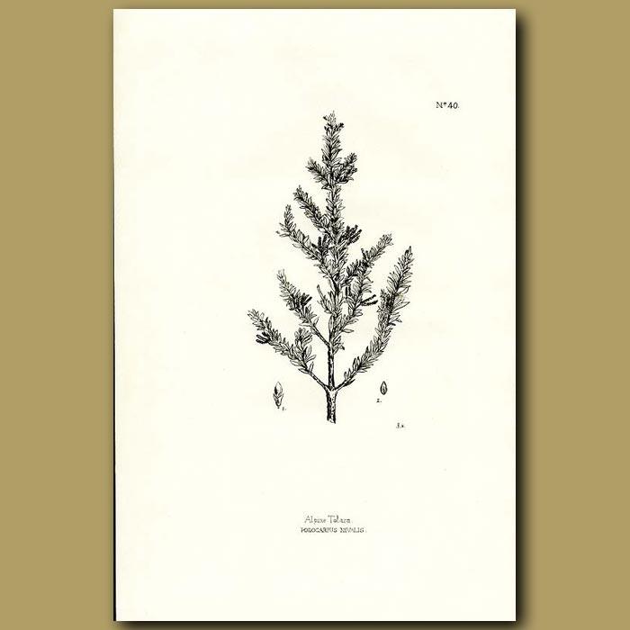 Antique print. Alpine Totara - Podocarpus totara