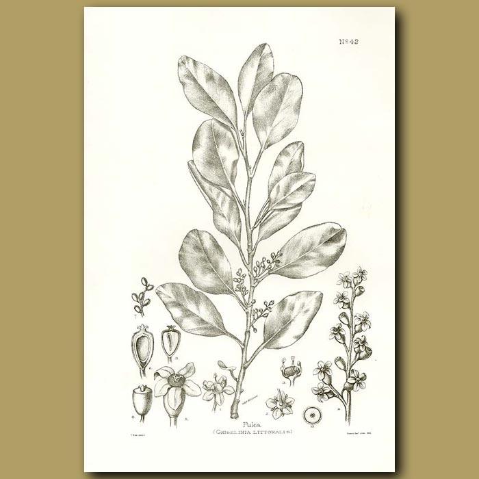 Antique print. Puka or Papauma - Griselinia lucida