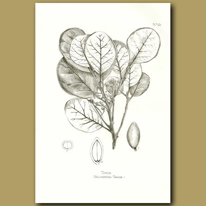 Antique print. Taraire - Beilschmiedia tarairi