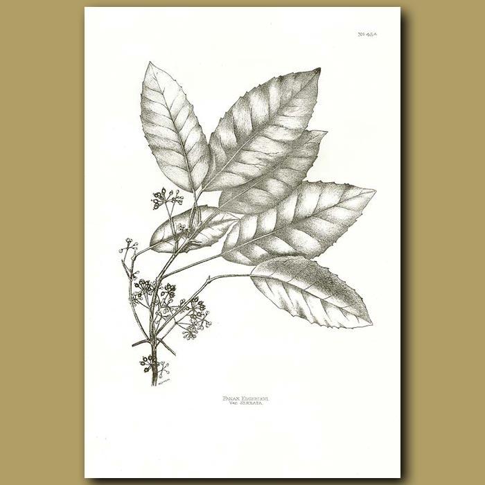 Antique print. Raukawa - Panax edgerleyi