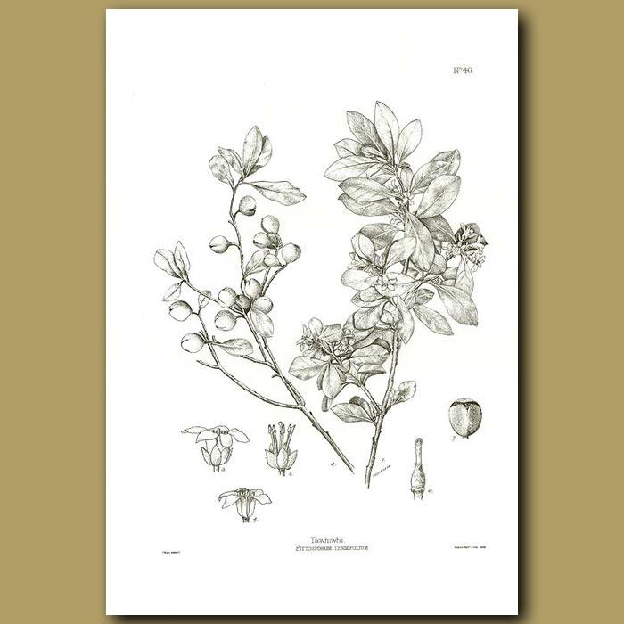 Antique print. Tawhiwhi - Pittosporum tenuifolium