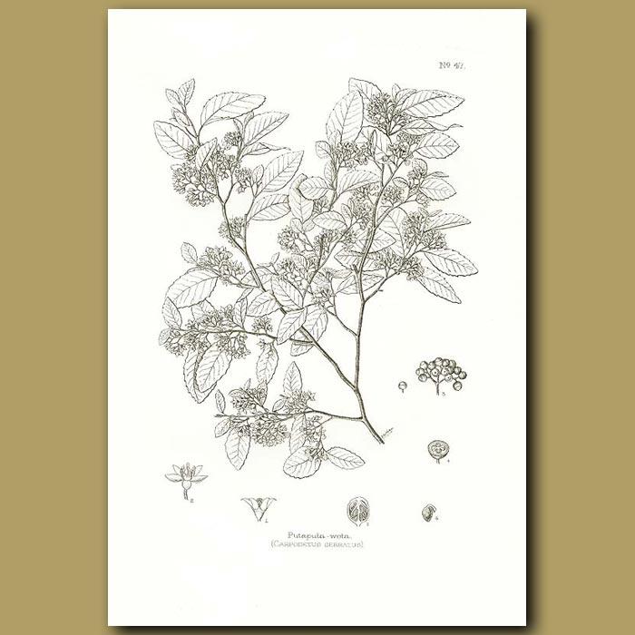 Antique print. White maple or Putaputa-weta - Carpodetus serratus
