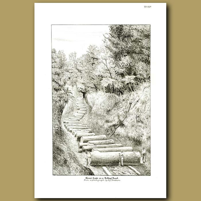 Antique print. Kauri logs on a rolling road