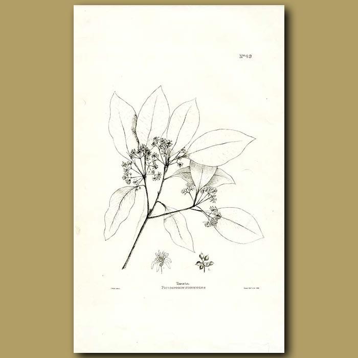 Antique print. Tarata - Pittosporum eugenioides