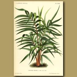 Geonoma Palm