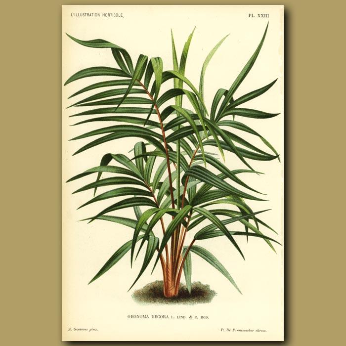 Antique print. Geonoma Palm