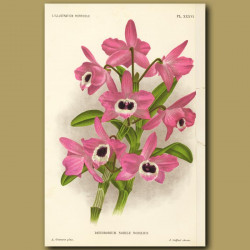 Orchid Nobile