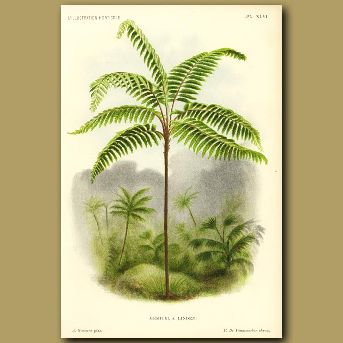 Antique print. Tree fern