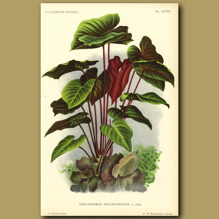 Antique print. Philodendron