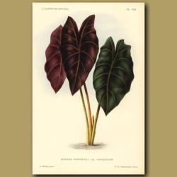 Alocasia - Kris plant