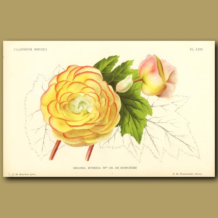 Antique print. Begonia