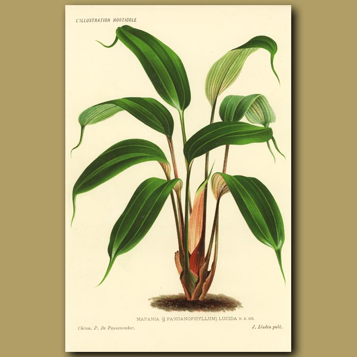 Antique print. Mapania lucida
